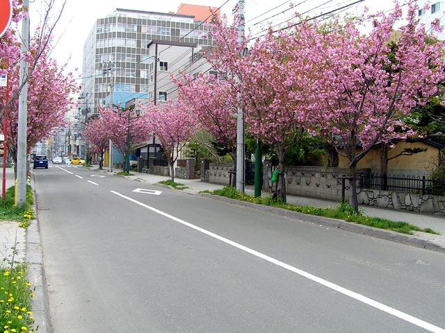 100521yaezakura3.jpg