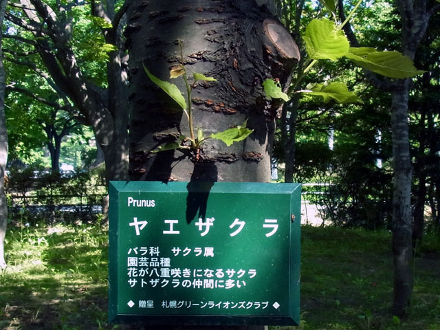 120612yaezakura1.jpg