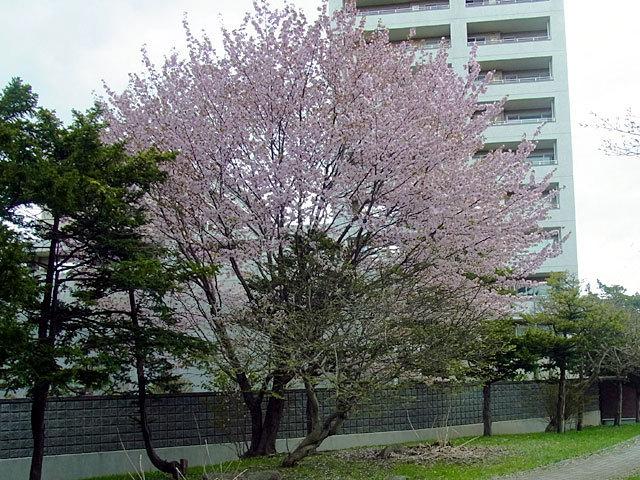 160505sakura1.jpg