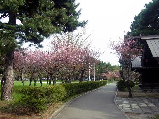 160510yaezakura1.jpg