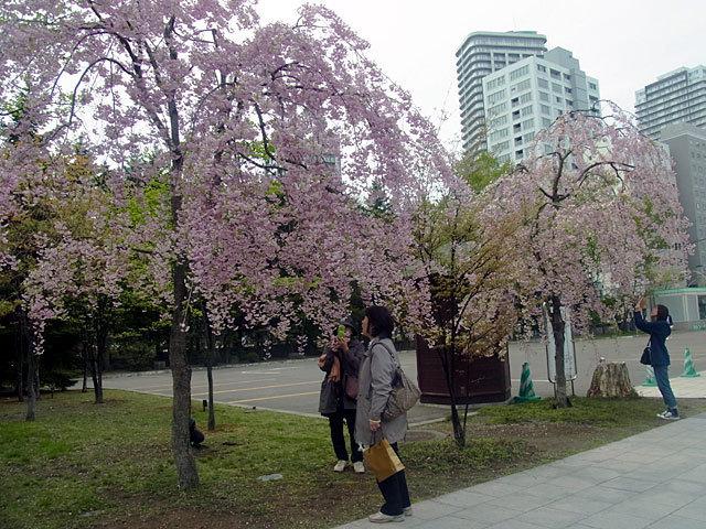 160510yaezakura7.jpg