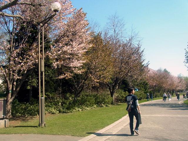 170504hazakura.jpg