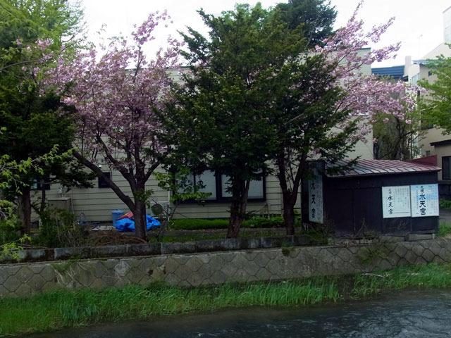 170516yaezakura1.jpg