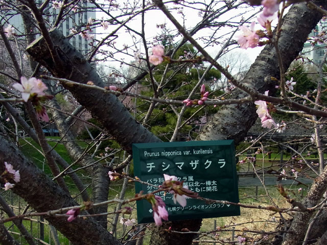 180428tisimazakura.jpg