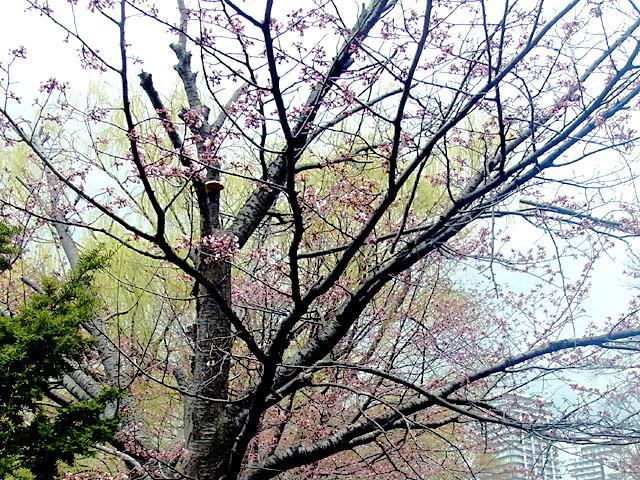 200429sakura4.jpg