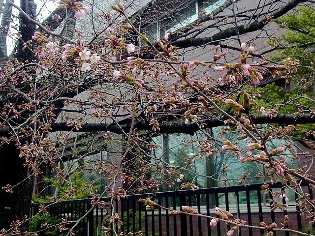 200429sakura5.jpg