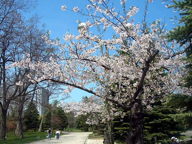 200508sakura3.jpg