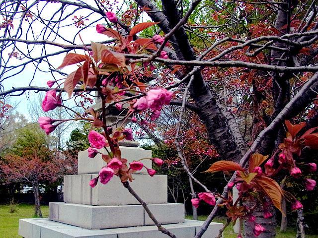 200509sakura1.jpg
