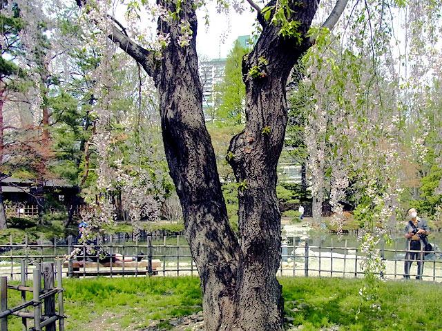 200509sakura4.jpg