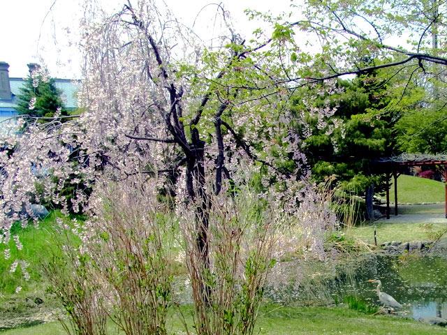 200512sakura4.jpg