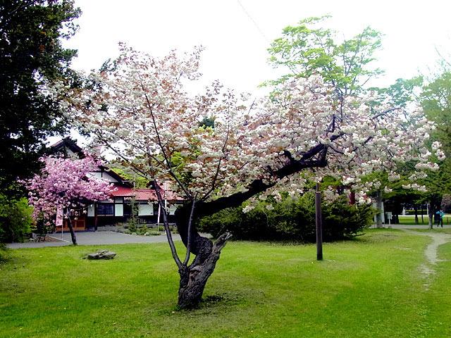 200518sakura1.jpg