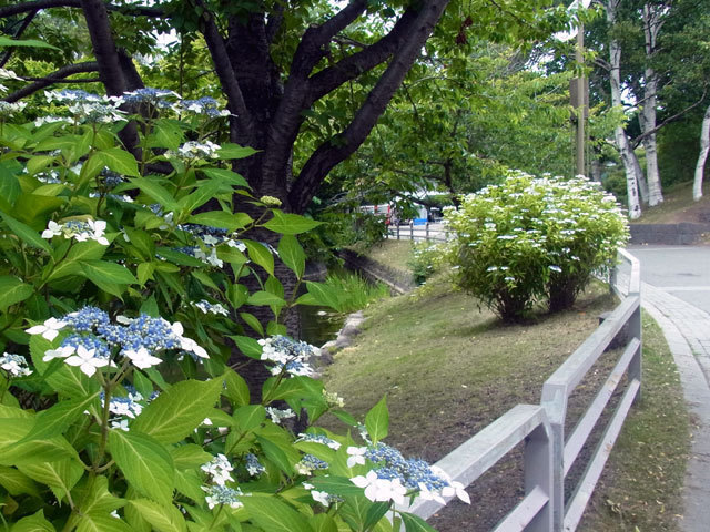 150713gakuajisai-thumbnail2.jpg