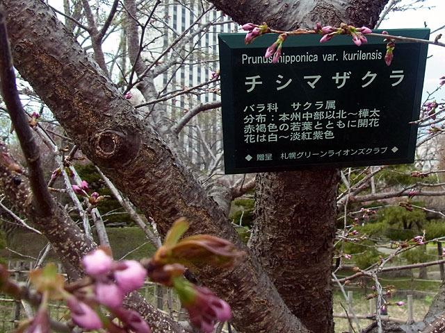 170430tisimazakura.jpg